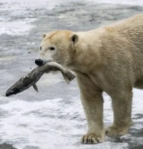 Do Polar Bears Eat Fish