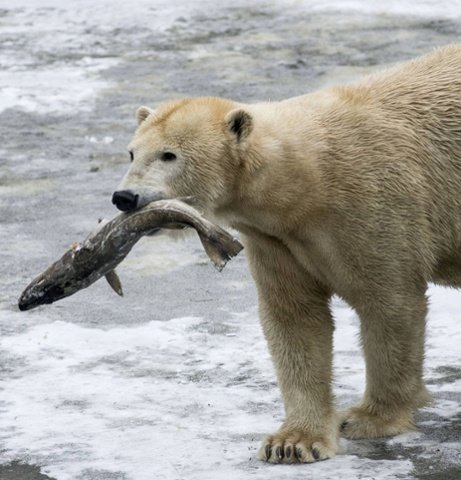 What Do Polar Bears Eat – Polar Bears Diet