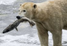 Do Polar Bears Eat Fish