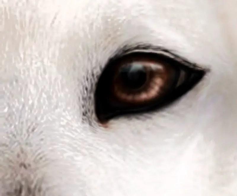 How far can a Polar Bear See - Polar Bear Eyesight