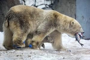 How far can a polar smell
