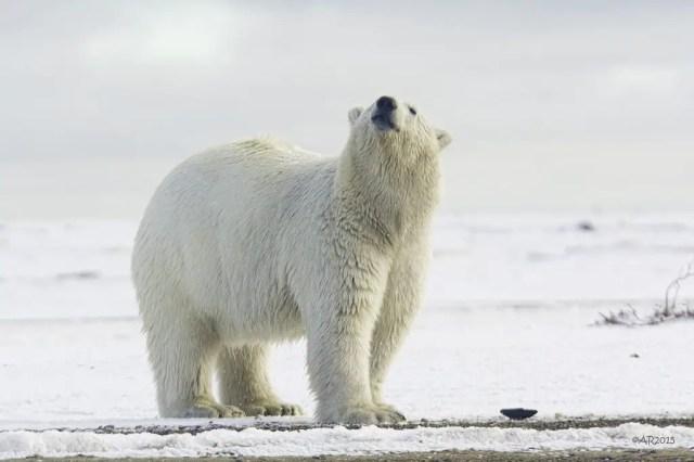 how far can a polar bear smell