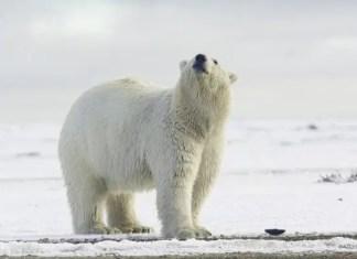 Polar bear height