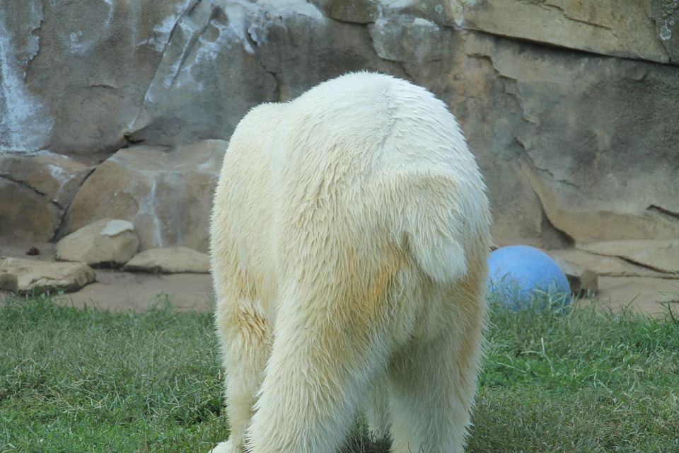 Do Polar Bears Have Tails - Polar Bear Tail