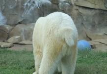 Do Polar Bears Have Tails - Polar Bear Tail