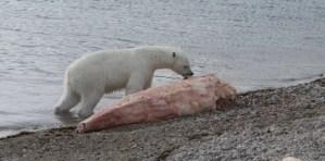Do Killer Whales Eat Polar Bears - Polar Bears vs Killer Whale