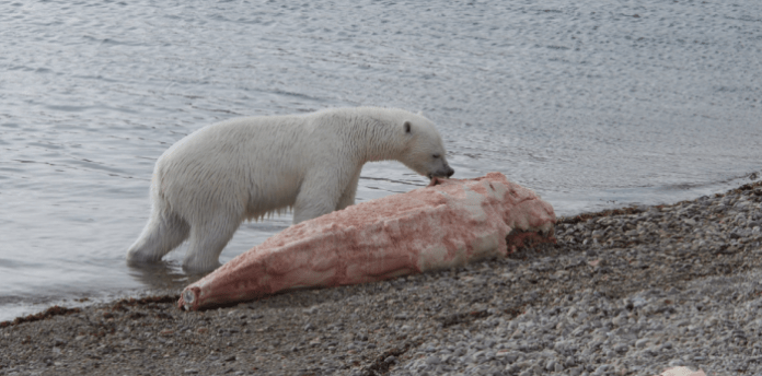 Polar Bear Digestive system eating carcass