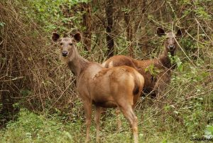 Sambar Deer What do Bengal Tigers Eat - Bengal Tiger Diet