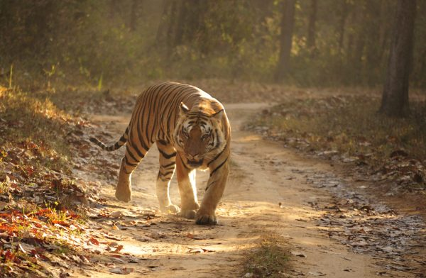 Where Do Bengal Tigers Live - Bengal Tiger Habitat
