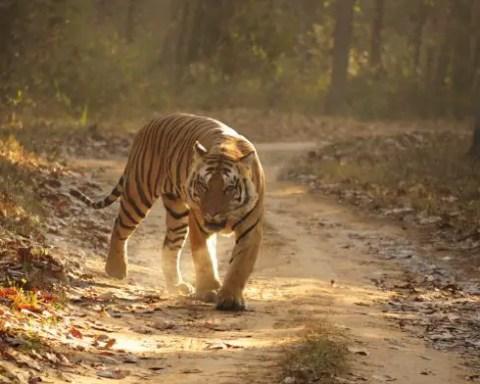 Where Do Bengal Tigers Live