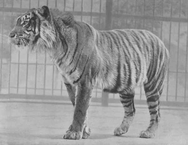 How Much Does a Javan Tiger Weigh