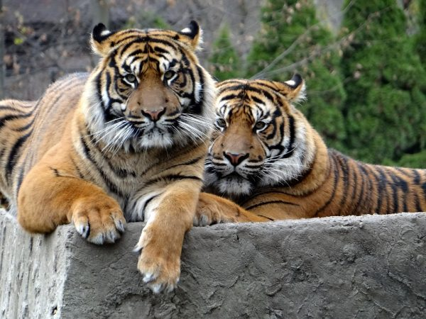 How Much Does a sumatran Tiger Weigh