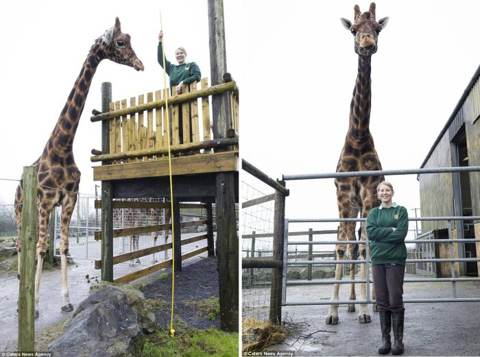 tallest giraffe in the world