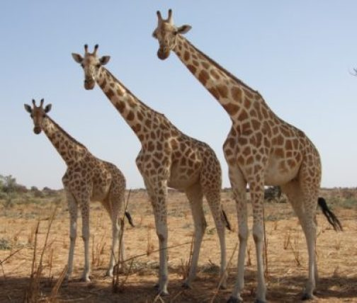 How Many Giraffes Are There In The World