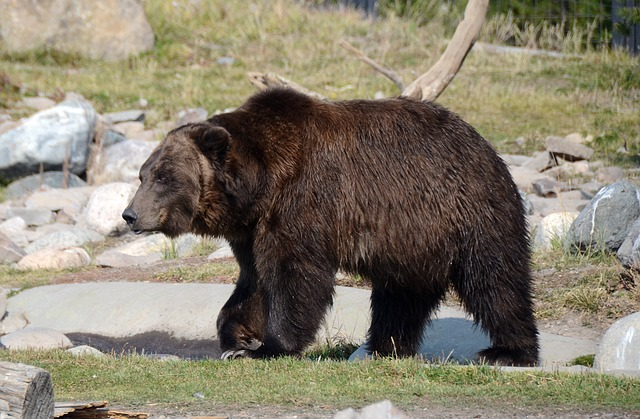 Grizzly Bear Height