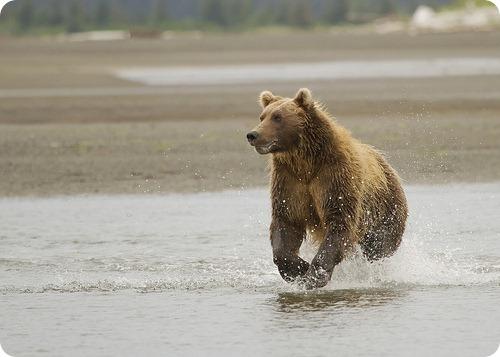 pierde ursul de greutate)