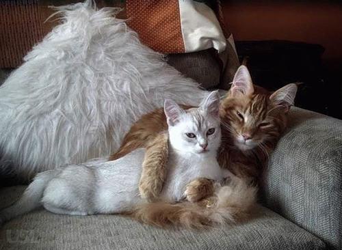 Начинающему заводчику: во сколько кошка может забеременеть, с какого возраста кошки беременеют. Может ли кормящая кошка забеременеть? Когда кошка может забеременеть после родов