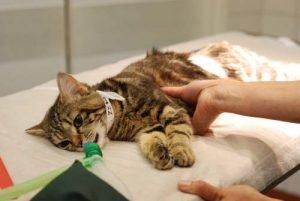 Почему рождаются мертвые котята или причины выкидыша у кошки. Выкидыш у кошки: причины и помощь У кошки произошел выкидыш как ей помочь