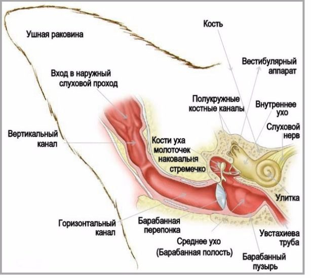 Удаление слухового прохода у кошки опасно ли. Причины появления и методы лечения гематомы уха у кошки. Причины появления гематомы ушной раковины