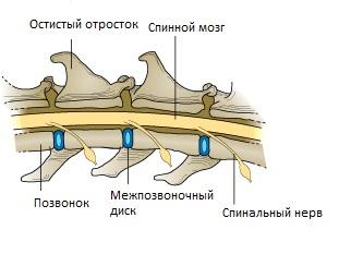 Спондилез позвоночника у собаки лечение
