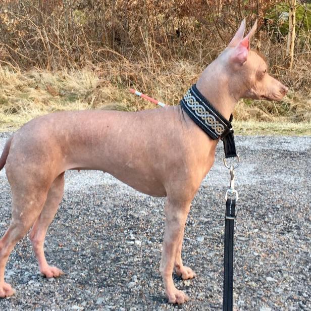 raza-perro- xoloitzcuintle