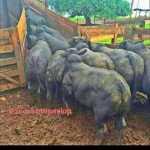 Zona de fuga y factores de estrés en bovinos