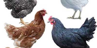 como criar una gallina ponedora