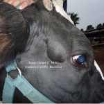 Leucosis en vacunos