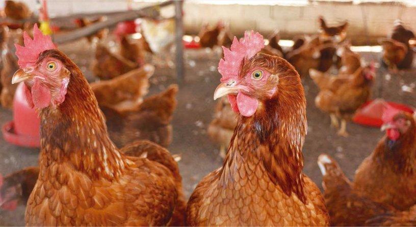 Control de enfermedades en gallinas ponedoras