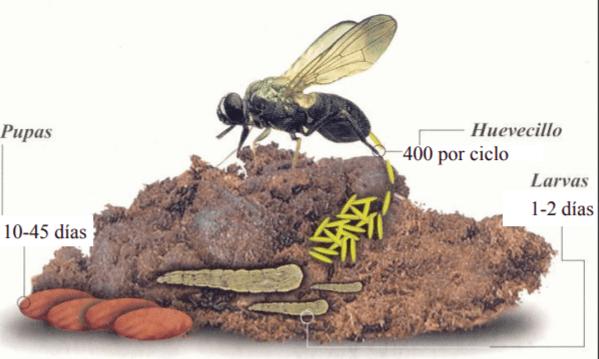A 28°C el desarrollo larvario se lleva a cabo en 10 días A 30°C en tan solo 5 días