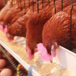 Consumo de la gallina ponedora