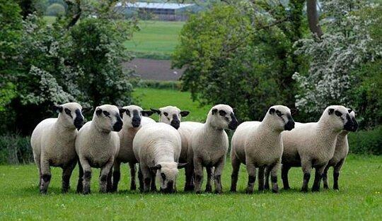 carneros de lana