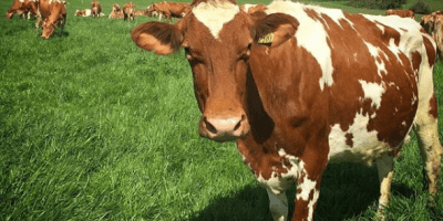 Raza bovina Guernsey