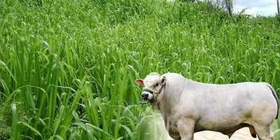 Pasto Guinea Mombasa