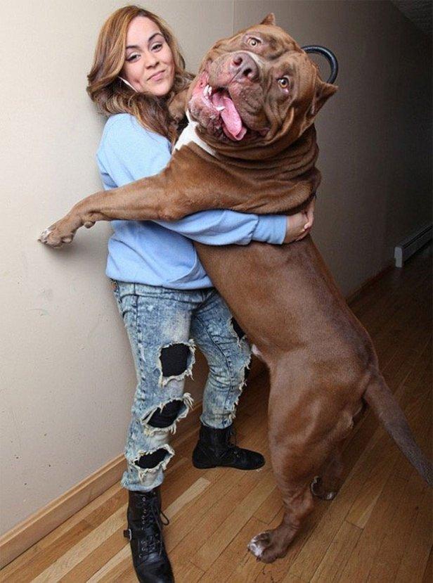 Hulk, el Pitbull mas grande del mundo