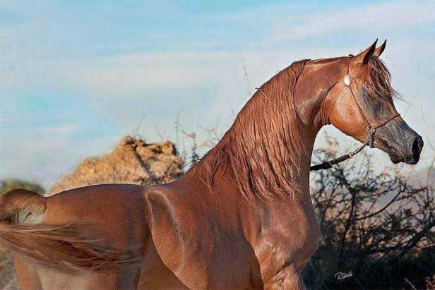 capa alazan de caballo