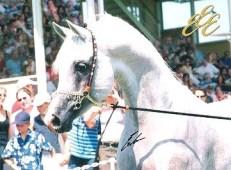 photo - Diamond M Arabians