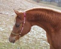 photo - Scarlet Arabian Bridlesq