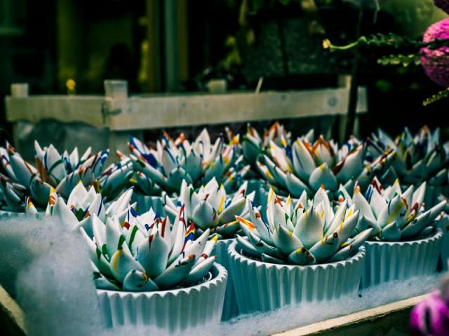 Rahasia Proses Pembuatan Bunga Mawar Biru