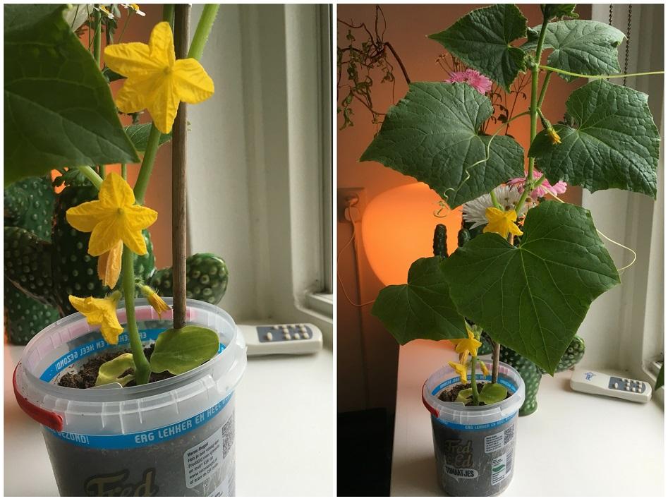 augurk plant
