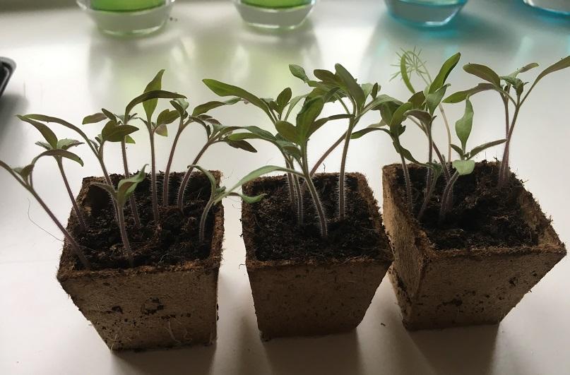 heinz tomatenplantjes