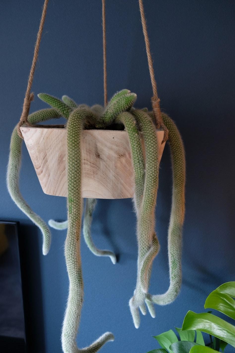 apenstaart cactus