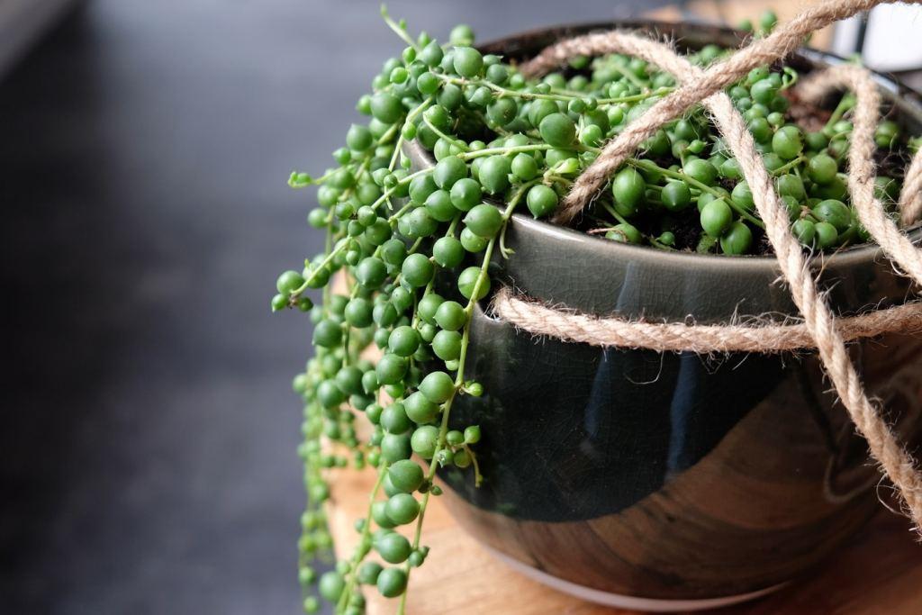erwtenplant