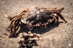 Wysuszony krab