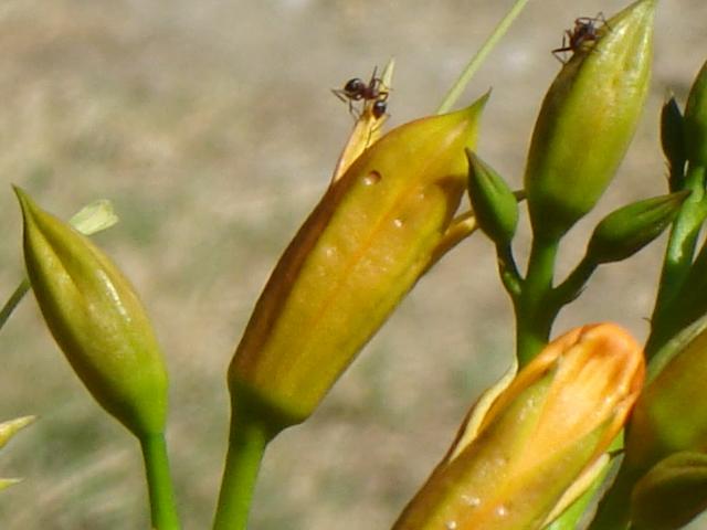 Fotografie mravence na žluté květině.