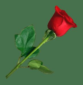PNGPIX-COM-Rose-PNG-Transparent-Image