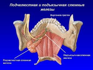 A nyálmirigyek anatomiája és citológiája