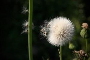 Samenschirmchen lösen sich von einer Pusteblume