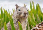 Esquilo com peste bubônica | Foto: Internet
