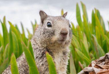Esquilo com peste bubônica   Foto: Internet
